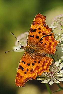 Comma (Polygonia c-album) butterfly on Greater Masterwort (Astrantia major), Stramproy, Limburg, Netherlands  -  Silvia Reiche