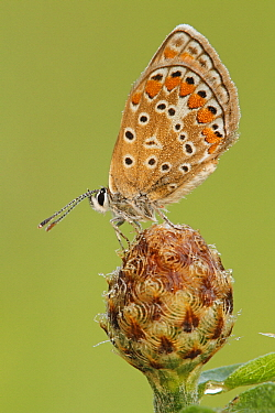 Brown Argus (Aricia agestis) butterfly on flowerbud, Les Eyzies-de-Tayac, Dordogne, France  -  Silvia Reiche