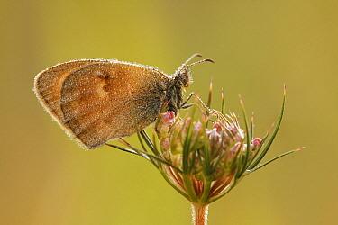 Small Heath (Coenonympha pamphilus) butterfly on flower bud, Les Eyzies-de-Tayac, Dordogne, France  -  Silvia Reiche