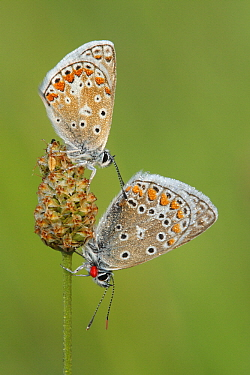 Common Blue (Polyommatus icarus) butterfly pair on flower bud, Les Eyzies-de-Tayac, Dordogne, France  -  Silvia Reiche