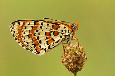 Spotted Fritillary (Melitaea didyma) butterfly resting on flower bud, Les Eyzies-de-Tayac, Dordogne, France  -  Silvia Reiche