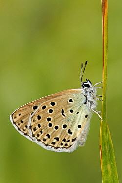 Butterfly on grass, Les Eyzies-de-Tayac, Dordogne, France  -  Silvia Reiche