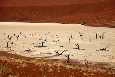 Camelthorn Acacia (Acacia erioloba) dead trees with dunes in background, Dead Vlei, Namib-Naukluft National Park, Namibia  -  Steven Ruiter/ NIS