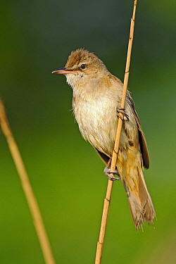 Great Reed Warbler (Acrocephalus arundinaceus), Pleven, Bulgaria  -  Winfried Wisniewski