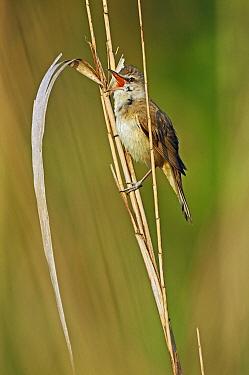 Great Reed Warbler (Acrocephalus arundinaceus) singing, Pleven, Bulgaria  -  Winfried Wisniewski