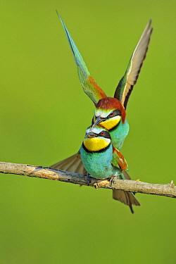 European Bee-eater (Merops apiaster) mating pair, Pleven, Bulgaria  -  Winfried Wisniewski
