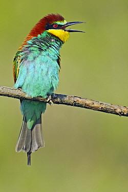 European Bee-eater (Merops apiaster) calling, Pleven, Bulgaria  -  Winfried Wisniewski