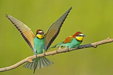 European Bee-eater (Merops apiaster) pair, Pleven, Bulgaria  -  Winfried Wisniewski