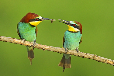 European Bee-eater (Merops apiaster) presenting food during courtship, Pleven, Bulgaria  -  Winfried Wisniewski