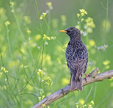 Common Starling (Sturnus vulgaris) in breeding plumage, Pleven, Bulgaria  -  Winfried Wisniewski