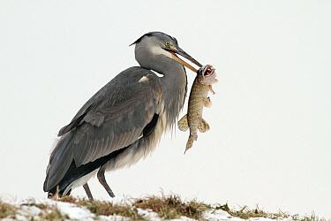 Grey Heron (Ardea cinerea) with Pike (Esox lucius) prey, Utrecht, Netherlands  -  Lesley van Loo/ NiS
