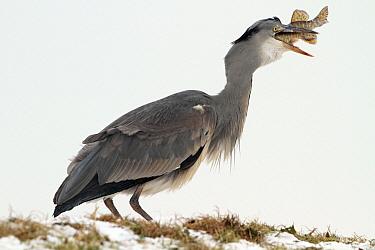 Grey Heron (Ardea cinerea) swallowing Pike (Esox lucius), Utrecht, Netherlands  -  Lesley van Loo/ NiS