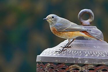 Common Redstart (Phoenicurus phoenicurus) perched on rusty lantern, Utrecht, Netherlands  -  Lesley van Loo/ NiS