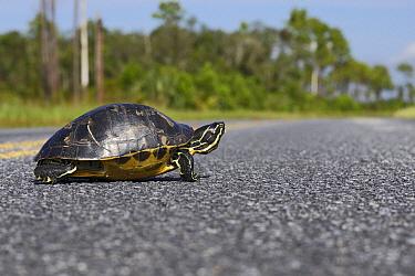 Florida Red-bellied Turtle (Pseudemys nelsoni) on road, Florida  -  Lesley van Loo/ NiS