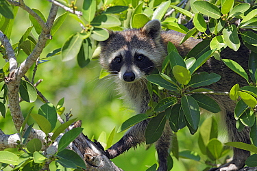 Raccoon (Procyon lotor) in tree, Florida  -  Lesley van Loo/ NiS
