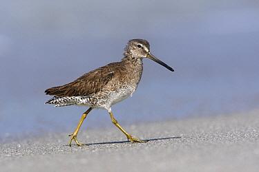 Short-billed Dowitcher (Limnodromus griseus), Florida  -  Lesley van Loo/ NiS