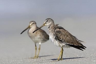 Short-billed Dowitcher (Limnodromus griseus) pair, Florida  -  Lesley van Loo/ NiS