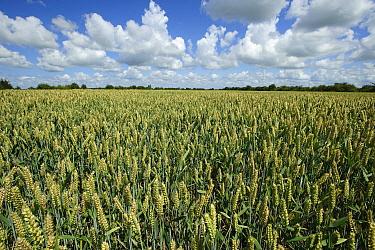 Common Wheat (Triticum aestivum) field, Zuid Beveland, Zeeland, Netherlands  -  Jan Vink/ NiS