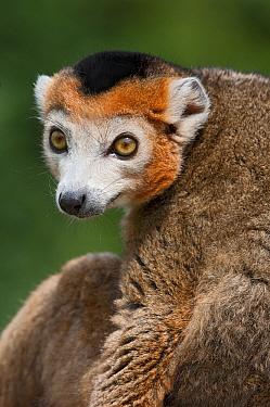 Red Ruffed Lemur (Varecia rubra) portrait, Netherlands  -  Marcel van Kammen/ NiS