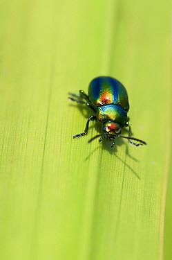 Hemp Nettle Leaf Beetle (Chrysolina fastuosa), Feanwalden, Friesland, Netherlands  -  Marcel van Kammen/ NiS