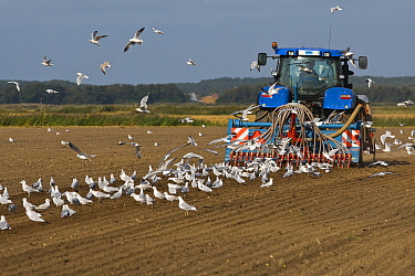 Black-headed Gull (Larus ridibundus) flock foraging near tractor, Texel, Noord-Holland, Netherlands  -  Otto Plantema/ Buiten-beeld