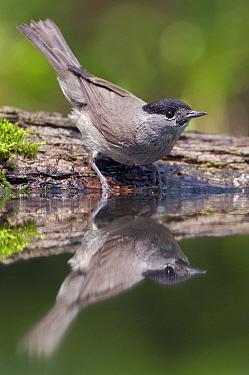 Blackcap (Sylvia atricapilla) male, De Westereen, Friesland, Netherlands  -  Marcel van Kammen/ NiS