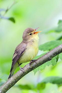 Icterine Warbler (Hippolais icterina) singing, De Westereen, Friesland, Netherlands  -  Marcel van Kammen/ NiS