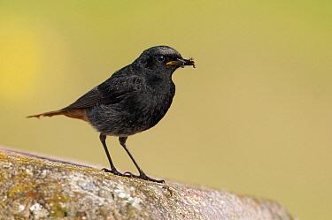 Black Redstart (Phoenicurus ochruros) male with prey, Lauwersmeer, Groningen, Netherlands  -  Marcel van Kammen/ NiS