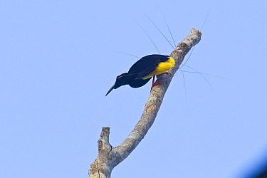 Twelve-wired Bird-of-paradise (Seleucidis melanoleuca) male courting, New Guinea, Papua New Guinea  -  Otto Plantema/ Buiten-beeld
