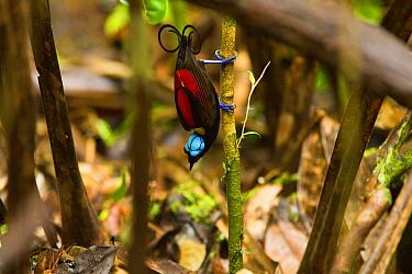 Wilson's Bird-of-paradise (Cicinnurus respublica) male, New Guinea, Papua New Guinea  -  Otto Plantema/ Buiten-beeld