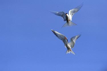 Common Tern (Sterna hirundo) pair flying, Zeeland, Netherlands  -  Jan Baks/ NiS