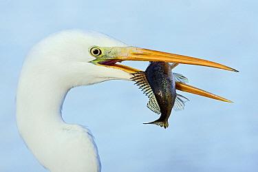 Great White Egret (Ardea alba) with fish prey, Netherlands  -  Henny Brandsma/ Buiten-beeld