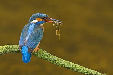 Common Kingfisher (Alcedo atthis) with frog prey, Netherlands  -  Ernst Dirksen/ Buiten-beeld
