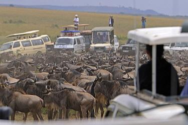 Blue Wildebeest (Connochaetes taurinus) migrating herd being filmed by tourists, Serengeti National Park, Tanzania  -  Winfried Wisniewski
