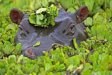 Hippopotamus (Hippopotamus amphibius) covered with water lettuce, Masai Mara, Kenya  -  Winfried Wisniewski