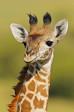 Masai Giraffe (Giraffa tippelskirchi), Masai Mara,Kenya  -  Winfried Wisniewski