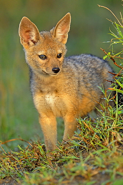Black-backed Jackal (Canis mesomelas), Serengeti National Park, Tanzania  -  Winfried Wisniewski