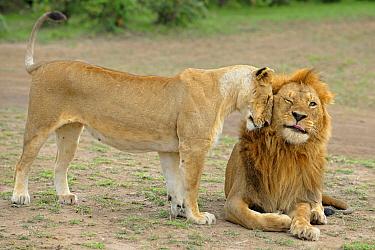 African Lion (Panthera leo) female nuzzling a male, Masai Mara, Kenya  -  Winfried Wisniewski