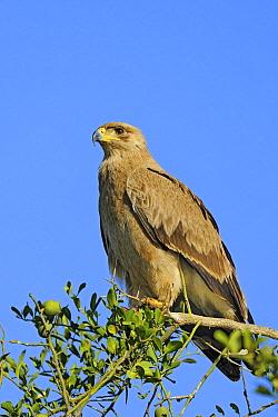 Tawny Eagle (Aquila rapax), Masai Mara, Kenya  -  Winfried Wisniewski
