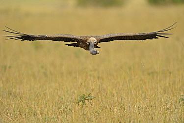 Ruppell's Griffon (Gyps rueppellii) flying, Masai Mara, Kenya  -  Winfried Wisniewski