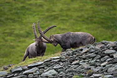 Alpine Ibex (Capra ibex) males fighting, Hohe Tauern, Austria  -  Willi Rolfes/ NIS