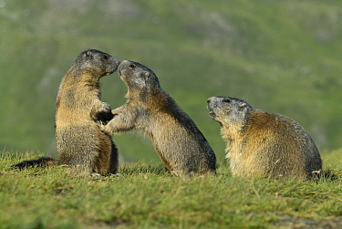 Alpine Marmot (Marmota marmota) trio, Hohe Tauern, Austria  -  Willi Rolfes/ NIS