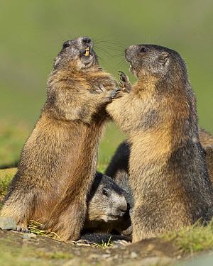 Alpine Marmot (Marmota marmota) pair fighting, Hohe Tauern, Austria  -  Willi Rolfes/ NIS