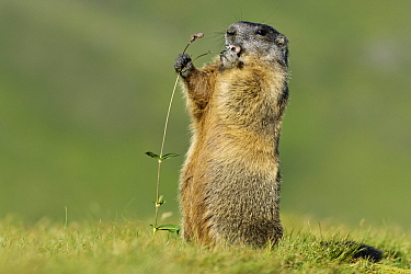 Alpine Marmot (Marmota marmota) feeding, Hohe Tauern, Austria  -  Willi Rolfes/ NIS