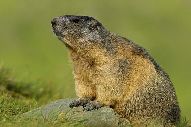 Alpine Marmot (Marmota marmota), Hohe Tauern, Austria  -  Willi Rolfes/ NIS