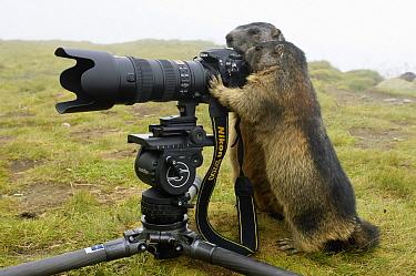 Alpine Marmot (Marmota marmota) pair playing with camera, Hohe Tauern, Austria  -  Willi Rolfes/ NIS