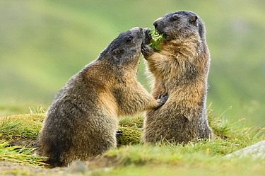 Alpine Marmot (Marmota marmota) bothering feeding individual, Hohe Tauern, Austria  -  Willi Rolfes/ NIS