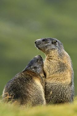 Alpine Marmot (Marmota marmota) pair, Hohe Tauern, Austria  -  Willi Rolfes/ NIS
