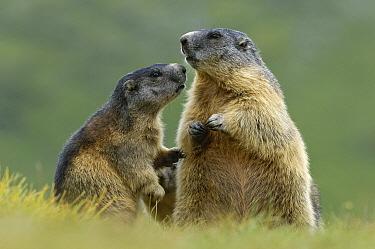 Alpine Marmot (Marmota marmota) pair interacting, Hohe Tauern, Austria. Sequence 1 of 7  -  Willi Rolfes/ NIS