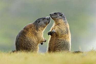 Alpine Marmot (Marmota marmota) pair interacting, Hohe Tauern, Austria. Sequence 2 of 7  -  Willi Rolfes/ NIS